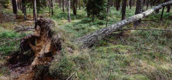 Piórem czytelnika: Nasze lasy powiatu oleskiego – drzewa powalone przez wiatr i zaatakowane przez kornika drukarza