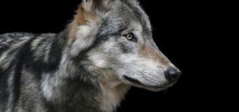 Gmina Zębowice ostrzega przed wilkami
