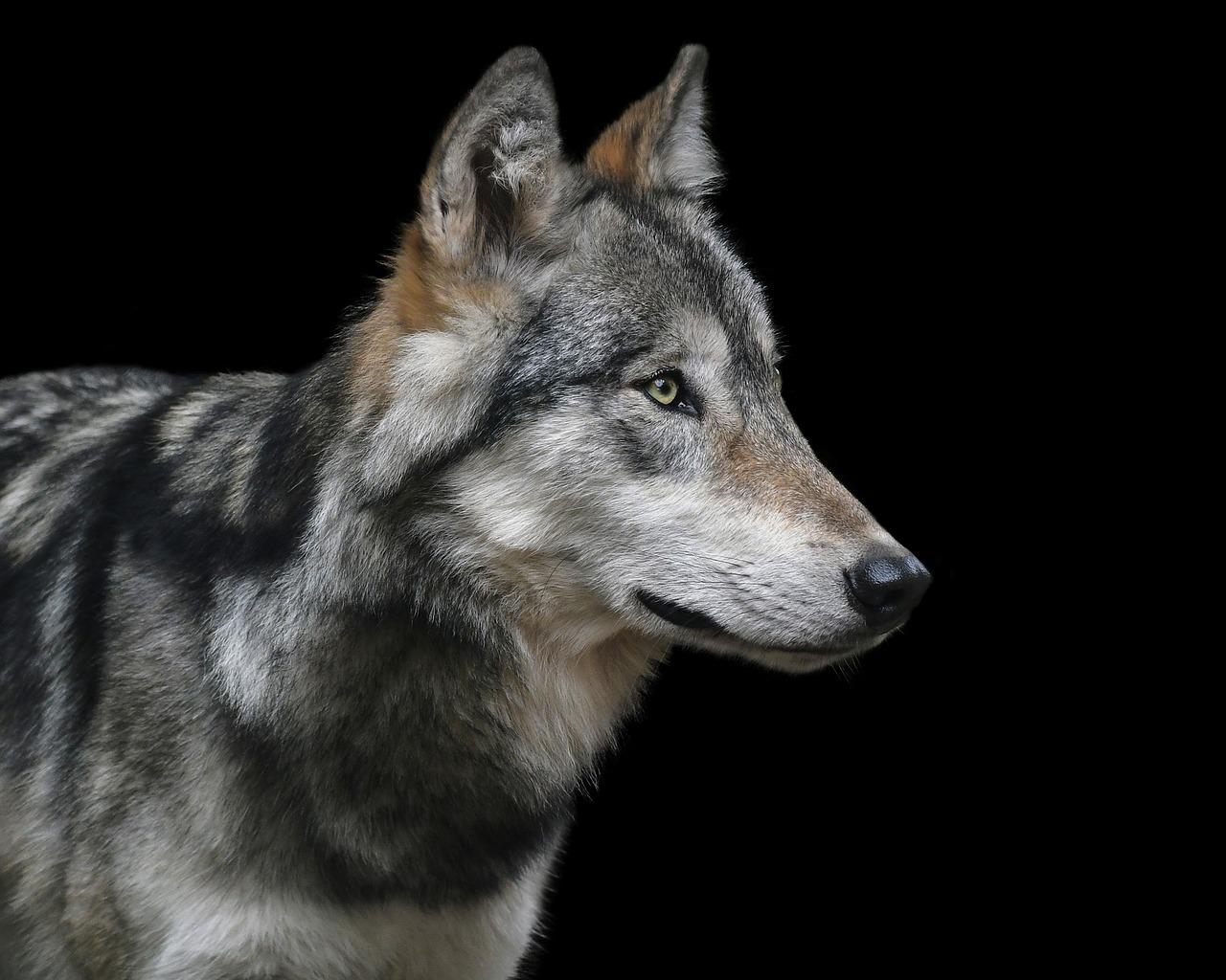 Czy w naszych lasach pojawiły się wilki?