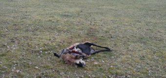 Wilki zaatakowały stado owiec. Wójt wydał ostrzeżenie