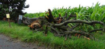 Legendarna sosna zniszczona przez burzę