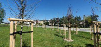 Nowe drzewa w Oleśnie
