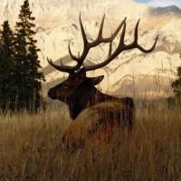 Odkupię poroża, zrzuty rogi jelenia i pozostałych jeleniowatych